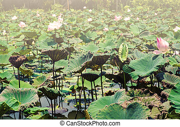 Lotus flowers in pond, vintage tone