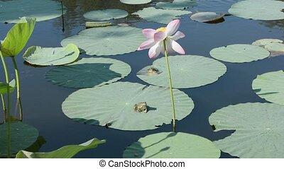 Lotus frogs