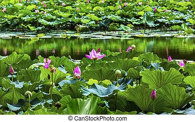 Lotus Garden Reflection Summer Palace Beijing, China - Pink ...