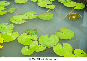 Lotus green leaf