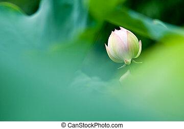 Lotus in full bloom.