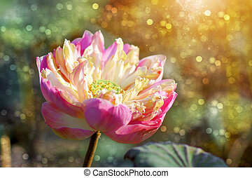 Lotus in the dry season