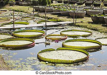 Lotus in the garden