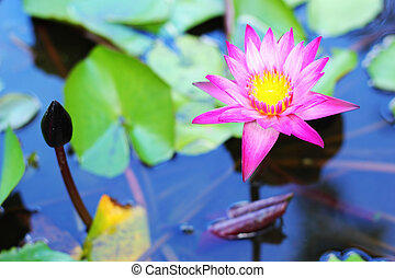 lotus in the water - pink flower