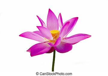 lotus is bloom
