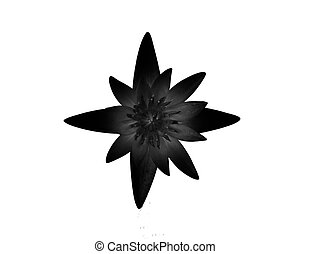 lotus isolated on a white background