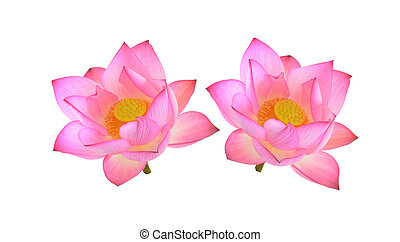 lotus isolated on white background.
