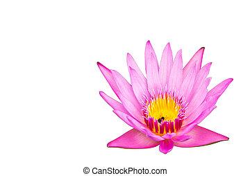Lotus isolated on white background