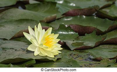 lotus, jaune, eau, fleurs, fleurir, étang, fleurs, lis, ou