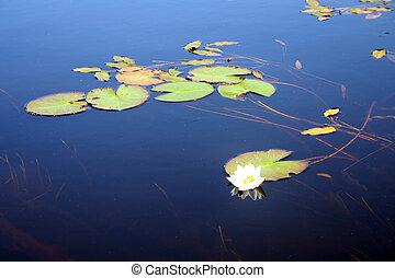 lotus, květiny