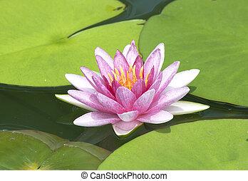 Lotus leaf  droplets Water  on Lotus leaf