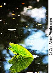 lotus leaf floating in a pond
