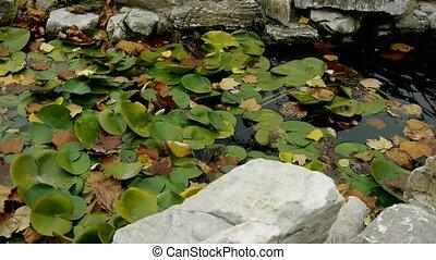 Lotus leaf in pond,rockery stone