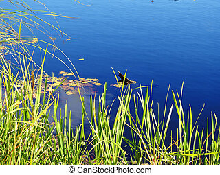 lotus leaf in the lake.