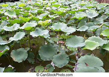 Lotus leaf in the lake