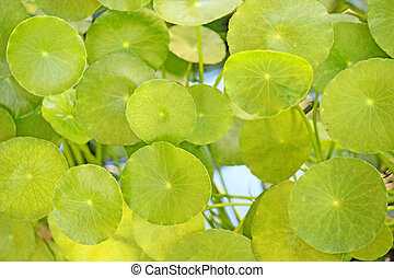 Lotus leaf in the pool