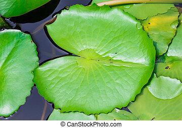 Lotus leaf in water