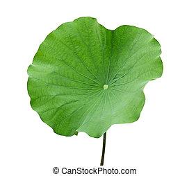Nelumbo Nucifera lotus leaf isolated on white background