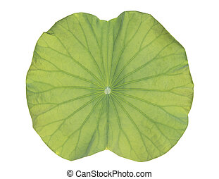 lotus leaf on white background