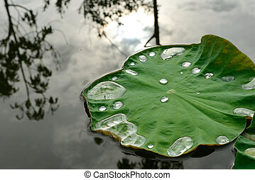 lotus leaf with water drops in pond