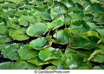 Lotus leafs.