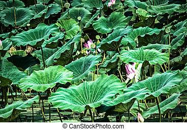 Lotus Lily or Sacred Lotus (Nelumbo nucifera)
