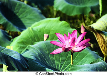 Lotus Lily or Sacred Lotus (Nelumbo nucifera) photographed ...