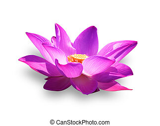 lotus - Lotus flower and Lotus flower plants