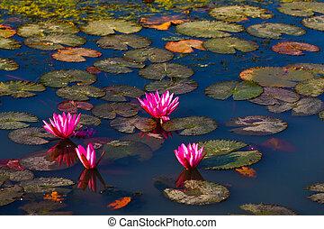 Lotus Marsh