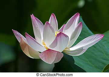 Lotus (Nelumbo) - Lotus flower in the Botanical Garden ...