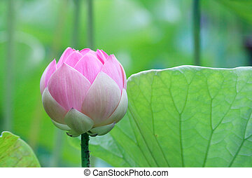 Lotus (Nelumbo) - Lotus flower in the Botanical Garden...