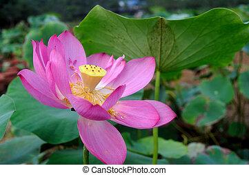 Lotus of rain