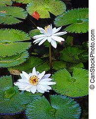 Lotus on a pond