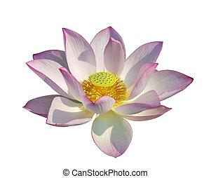 lotus on isolated white background.