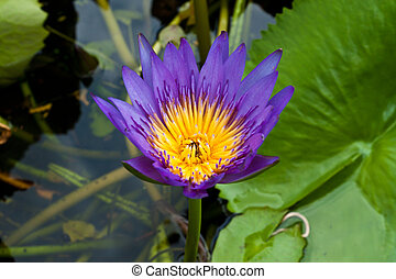 lotus on the River
