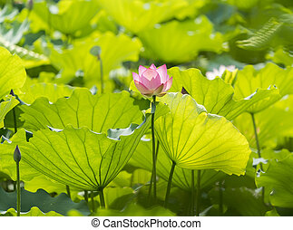 lotus or waterlilly flower in the pond