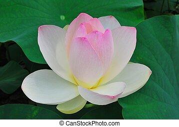 lotus přivést do květu, do, plný pel
