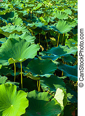 Lotus pads