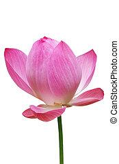Lotus, Pink water lily flower (lotus) and white backgroun