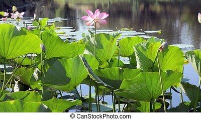 Lotus pond cobweb - Lotus flowers and leaves in the pond on...