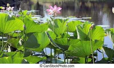 Lotus pond cobweb - Lotus flowers and leaves in the pond on...