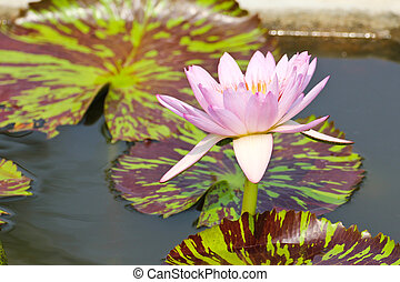 lotus, pond., fleur, nénuphar, ou