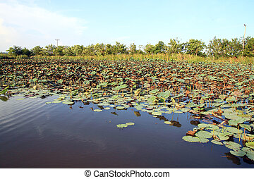Lotus pond in country  side