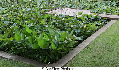 Lotus pond in the garden growing, stock footage