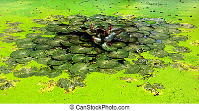 lotus pond in the park
