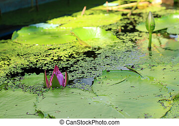lotus purple flower in the nature