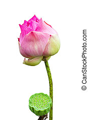 Lotus seed and lotus flower isolated