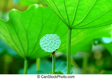 Lotus seed head - The lotus seed head and the green pads (...