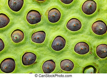 Lotus seeds pod close up