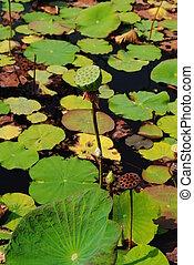 Lotus seeds Species flower